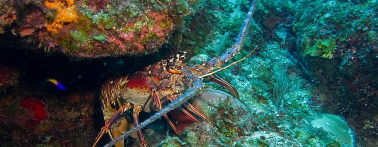 Lobstering Charter in Islamorada, FL